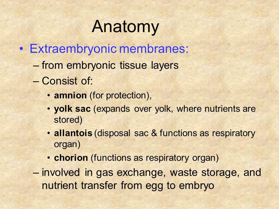 Anatomy Extraembryonic membranes: from embryonic tissue layers