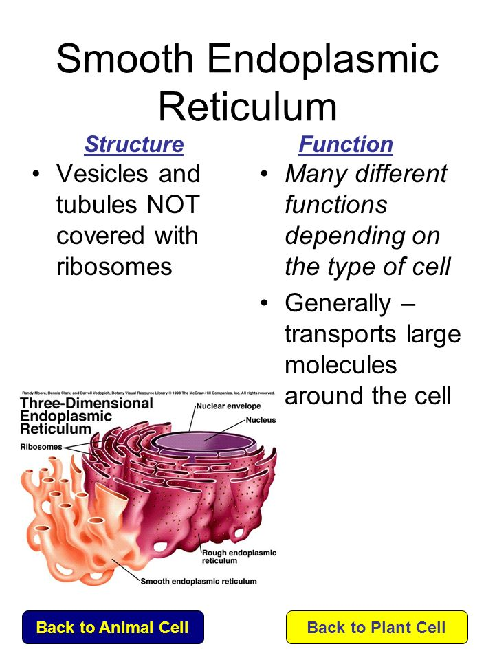 endoplasmic reticulum and ribosomes relationship problems