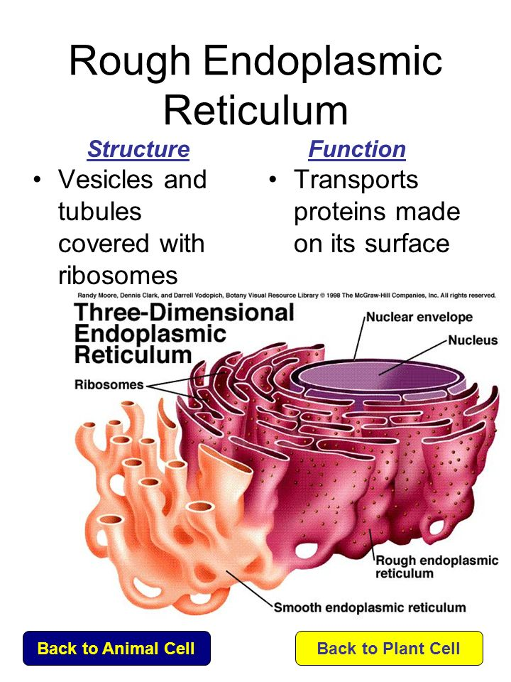 endoplasmic reticulum and cell membrane relationship marketing