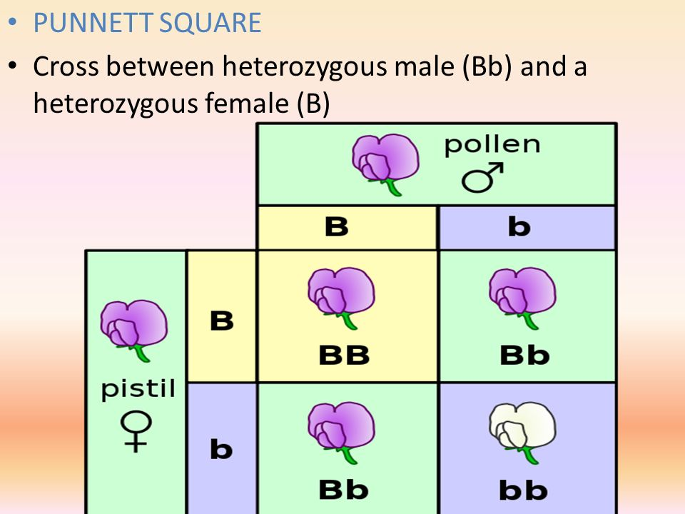 PUNNETT SQUARE Cross between heterozygous male (Bb) and a heterozygous female (B)