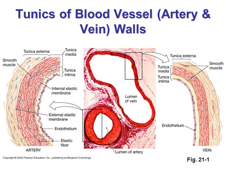 Anatomy Of Blood Vessels Ppt Video Online Download