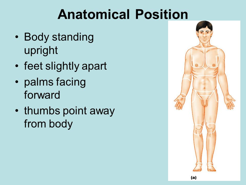 Anatomical Position Body standing upright feet slightly apart
