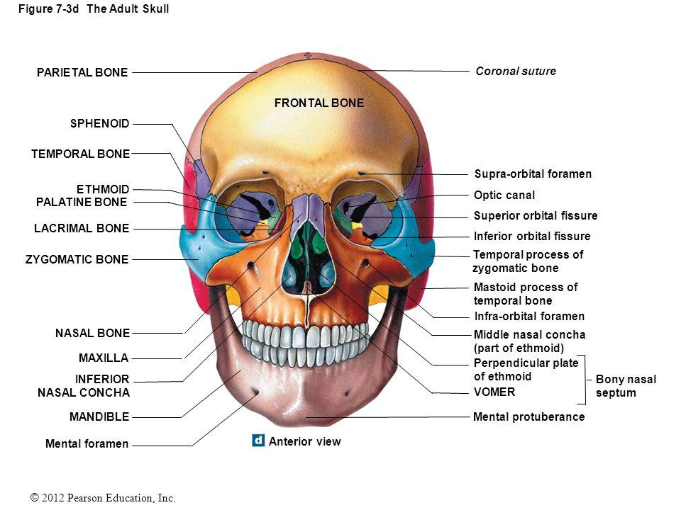 Figure 7 3c The Adult Skull Ppt Video Online Download