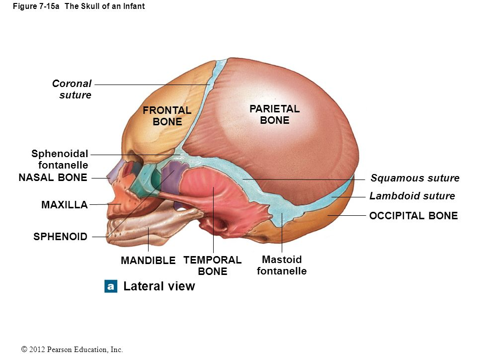 Figure 7-3c The Adult Skull - ppt video online download