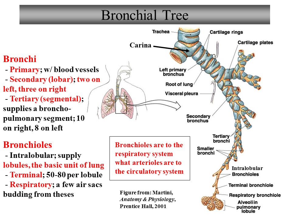 Chapter 22 Respiratory System Lecture 7 Ppt Video Online Download
