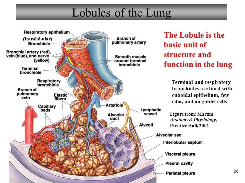 Chapter 22 Respiratory System Lecture 7 - ppt video online download