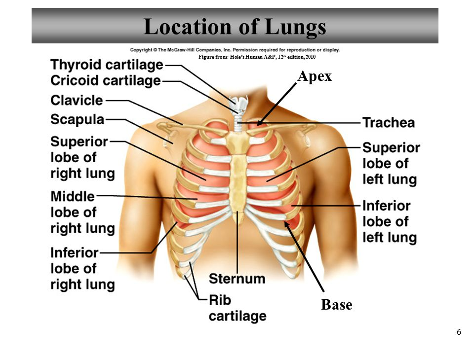 Chapter 22 respiratory system lecture 7 ppt video online download 6 location of lungs ccuart Image collections