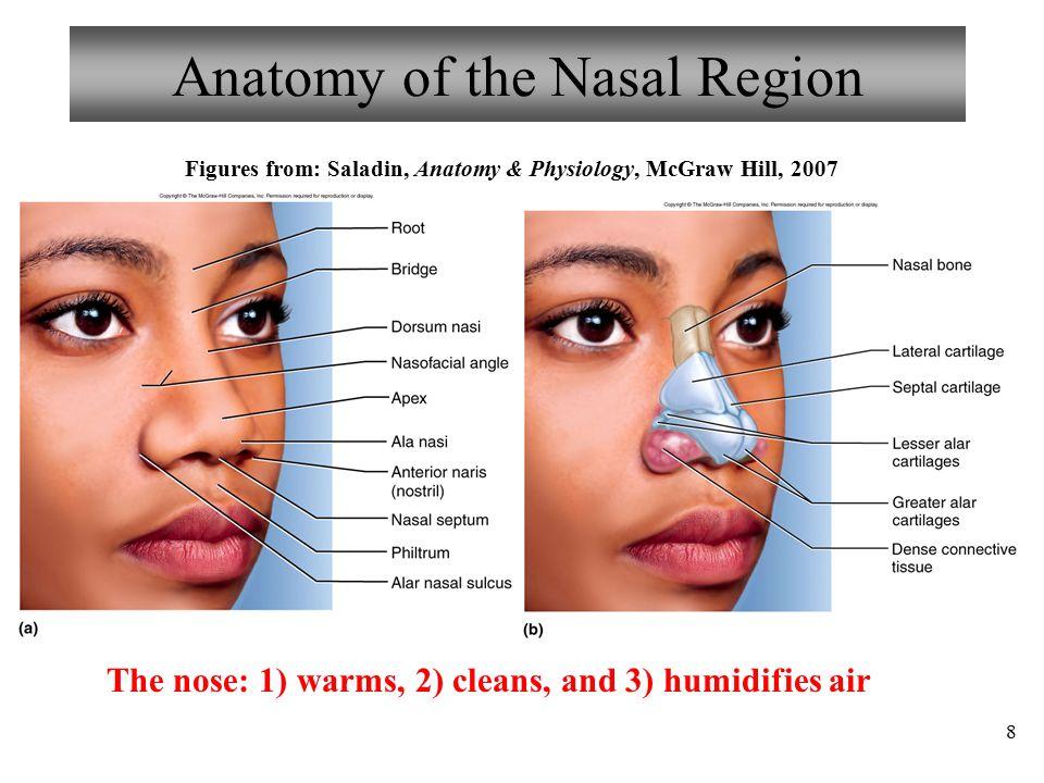 Hermosa Anatomy And Physiology Of The Nose Viñeta - Anatomía de Las ...