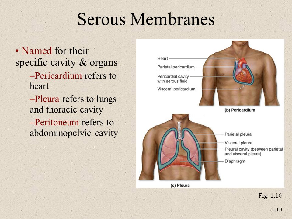 Serous Membranes Named for their specific cavity & organs