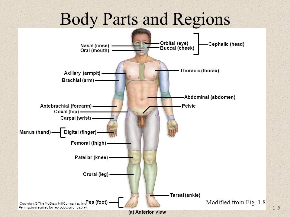 Lecture 2 Terminology and Body Plan for the Human Body - ppt video ...