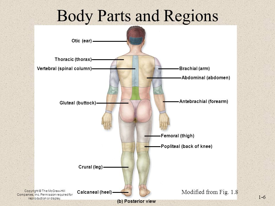 Lecture 2 Terminology And Body Plan For The Human Body Ppt Video