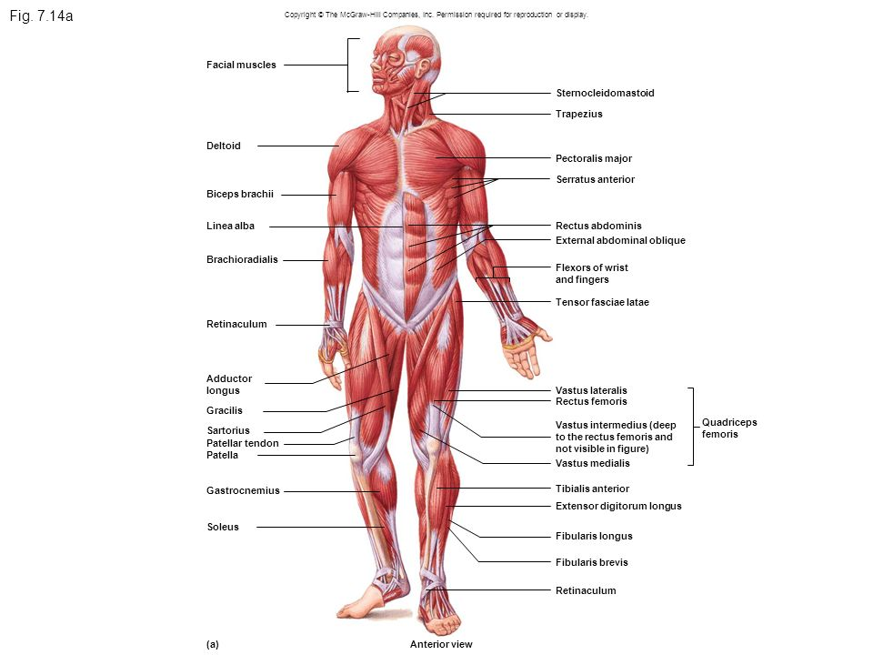 Facial Muscles Diagram Mcgraw Hill House Wiring Diagram Symbols
