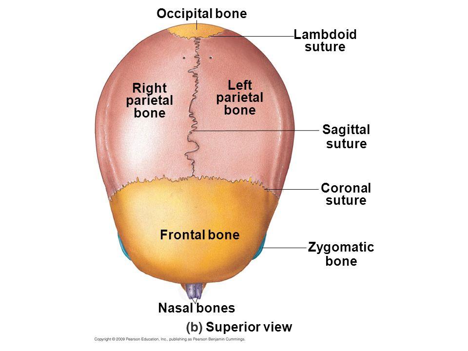 sagittal suture definition - 960×720