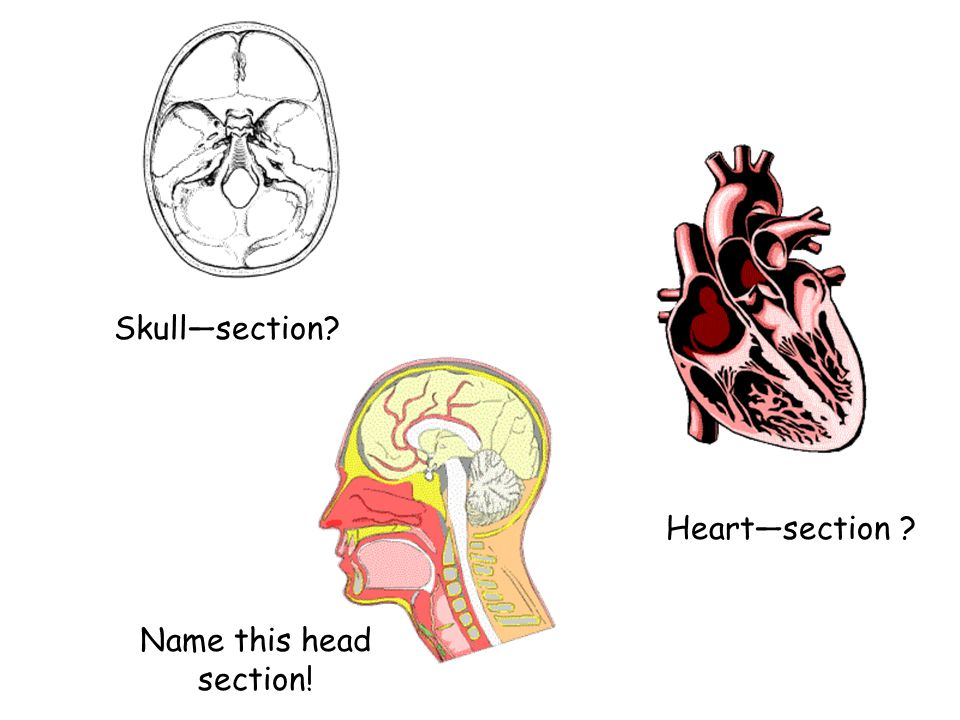 Skull—section Heart—section Name this head section!