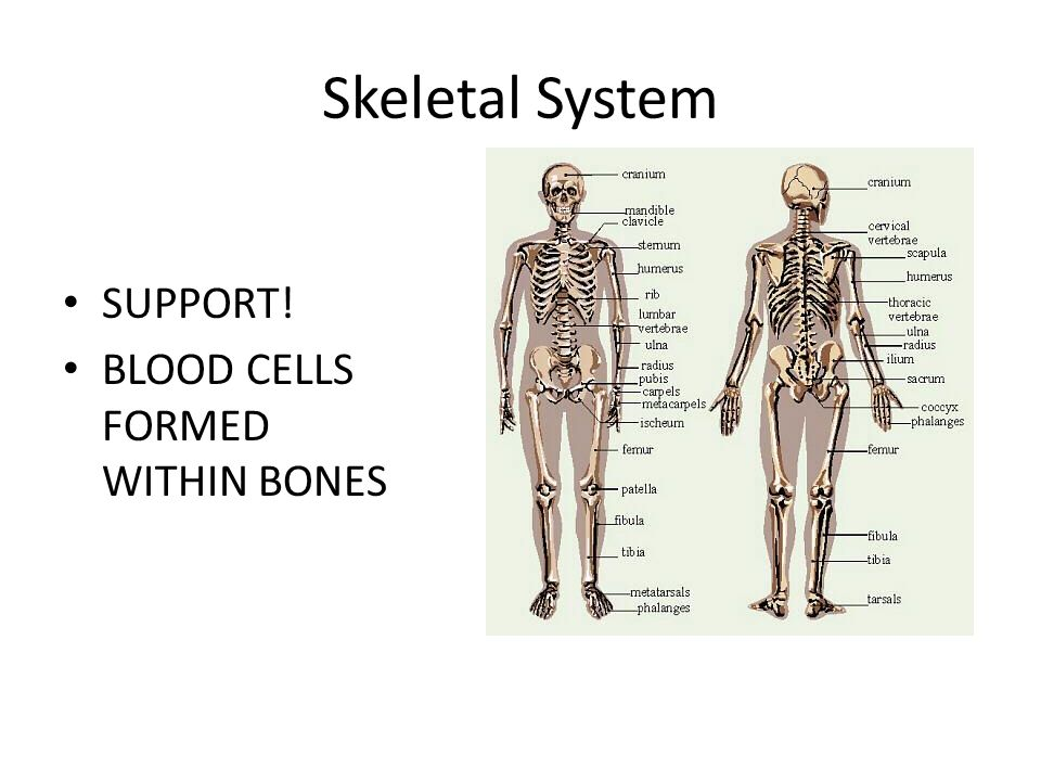 ANATOMY & PHYSIOLOGY DAY ppt download