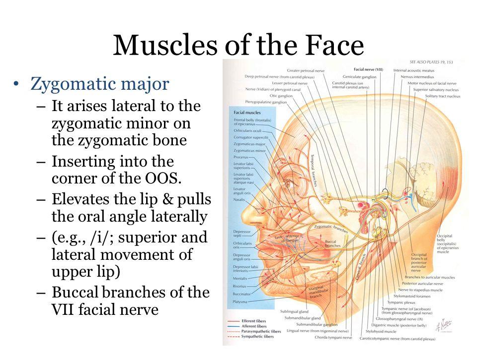 Muscles Of The Face 1 Orbicularis Oris Superior Orbicularis Oris