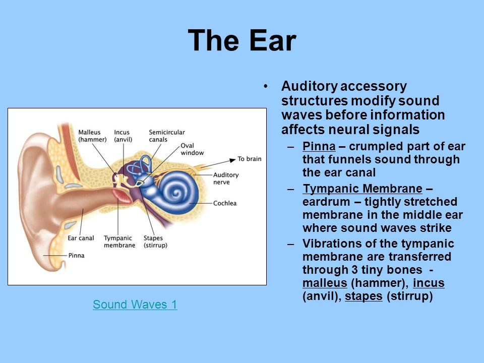 Sensation perception ppt video online download the ear auditory accessory structures modify sound waves before information affects neural signals ccuart Gallery