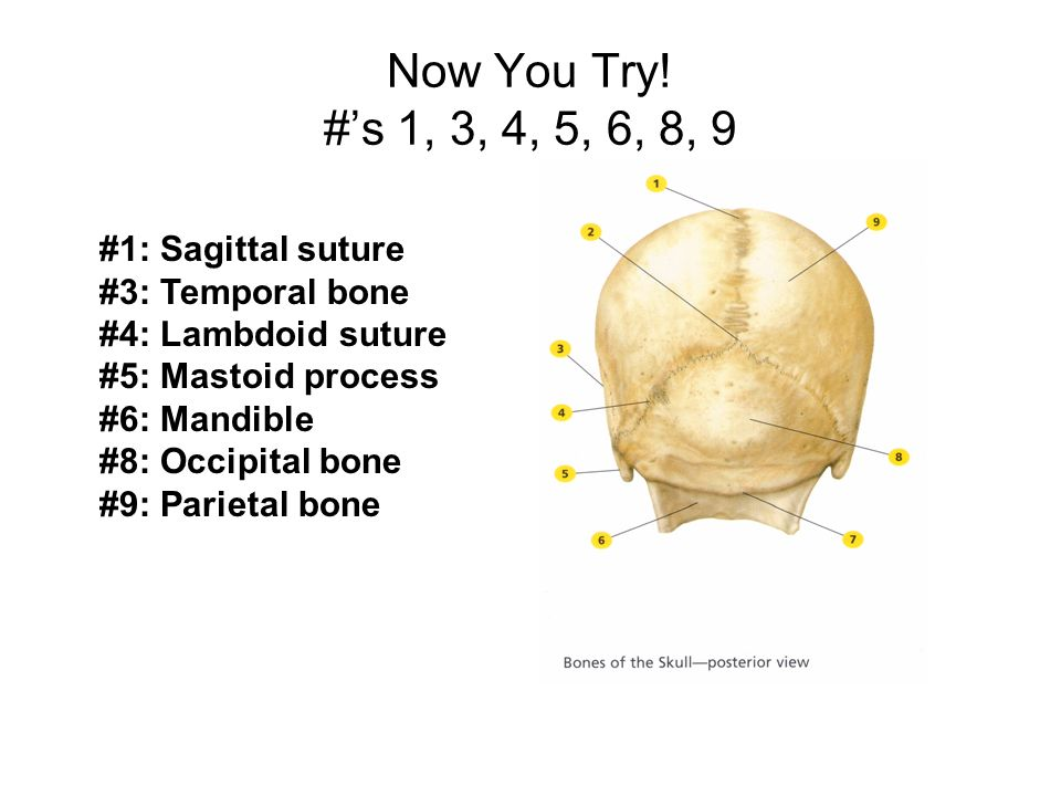 Now You Try! #'s 1, 3, 4, 5, 6, 8, 9 #1: Sagittal suture