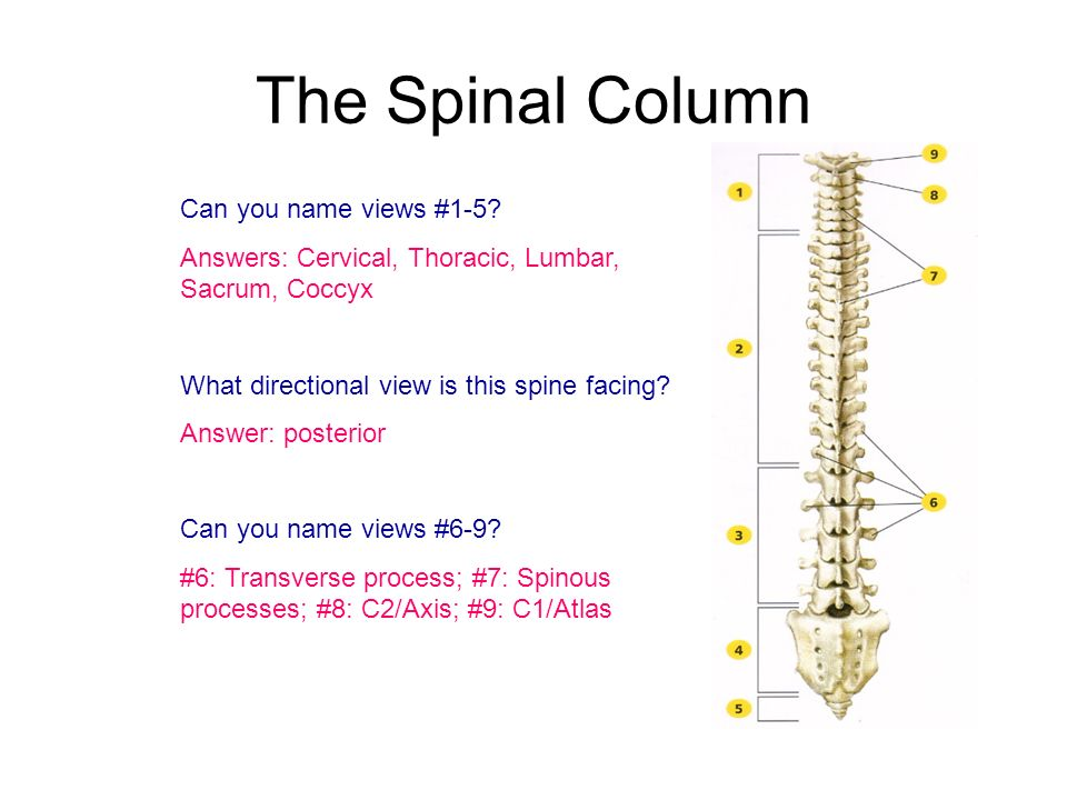 The Spinal Column Can you name views #1-5