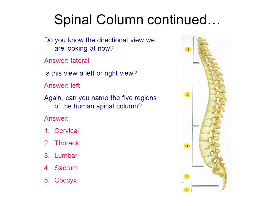 Spinal Column continued…