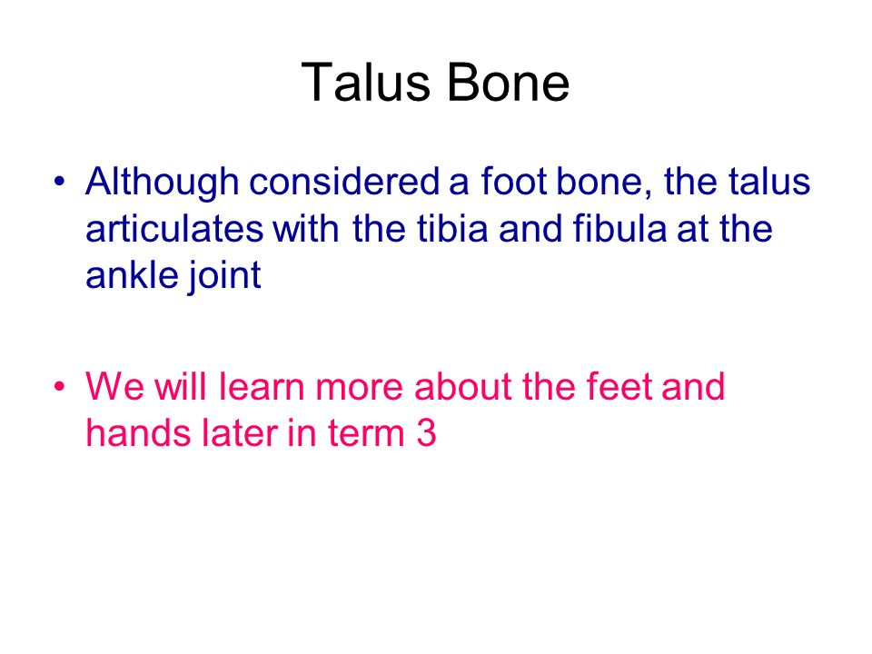 Talus Bone Although considered a foot bone, the talus articulates with the tibia and fibula at the ankle joint.