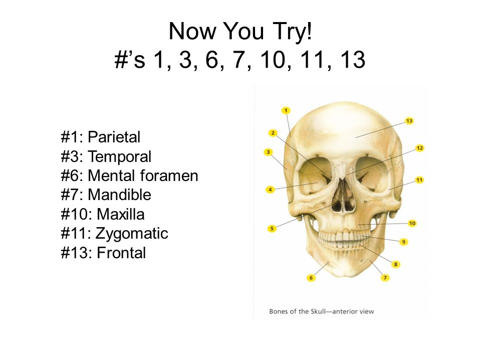 Now You Try! #'s 1, 3, 6, 7, 10, 11, 13 #1: Parietal #3: Temporal