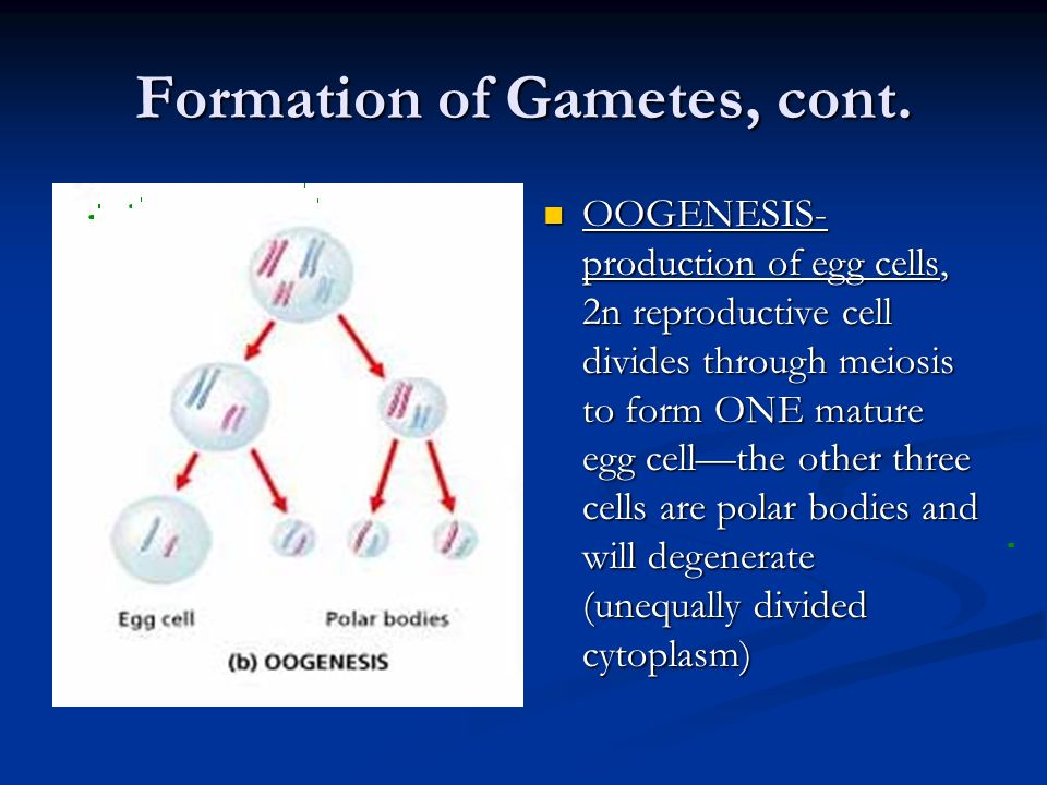 Formation of Gametes, cont.