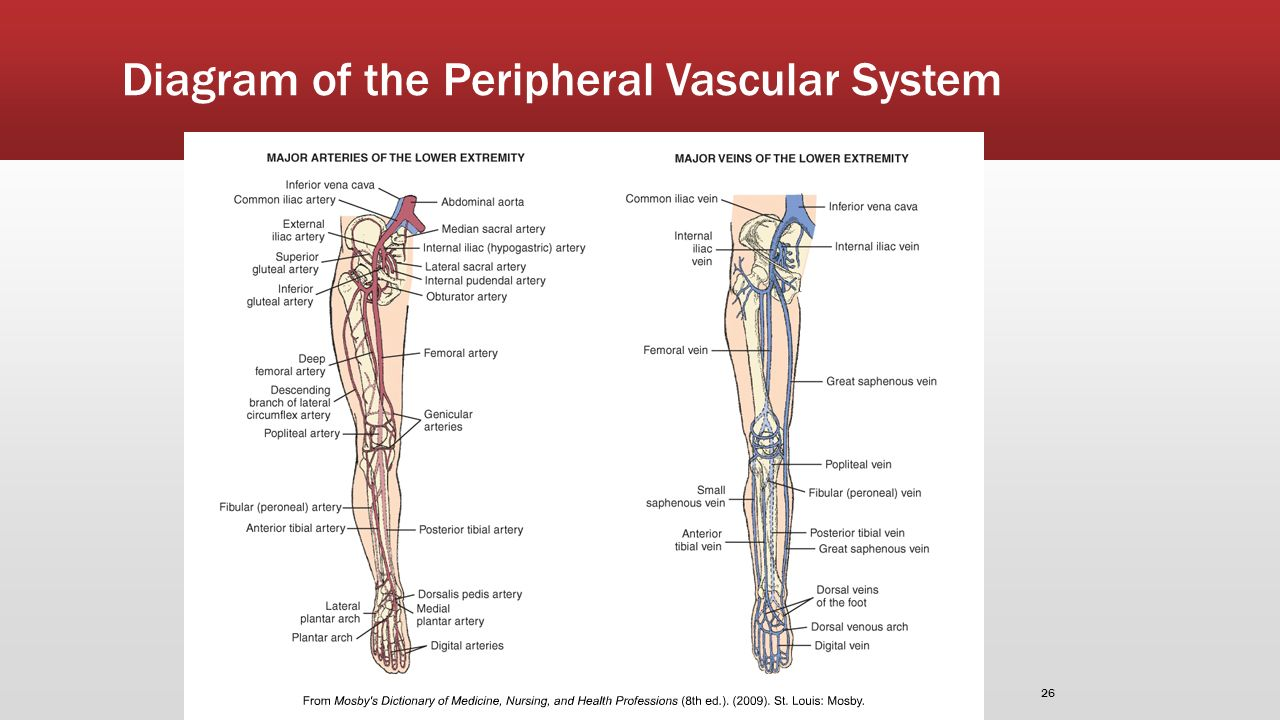Diagram Peripheral Vascular System - Circuit Connection Diagram •
