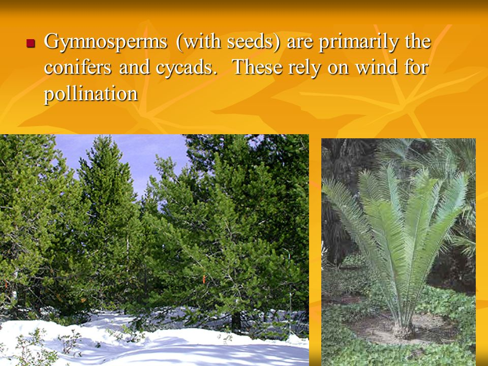 Gymnosperms (with seeds) are primarily the conifers and cycads