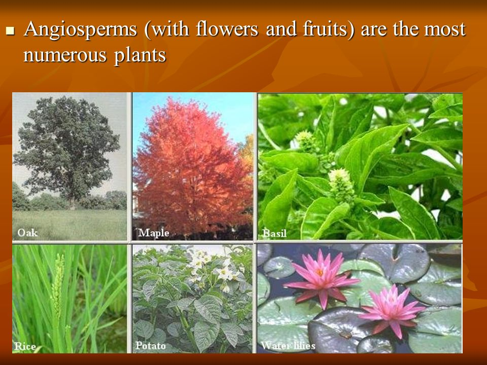 Angiosperms (with flowers and fruits) are the most numerous plants
