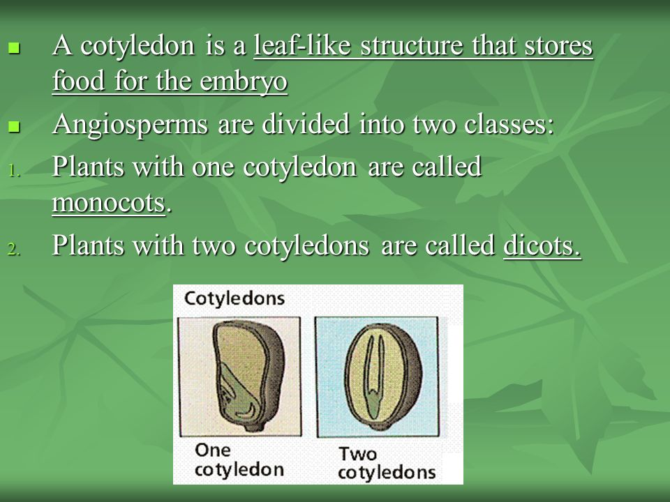 A cotyledon is a leaf-like structure that stores food for the embryo