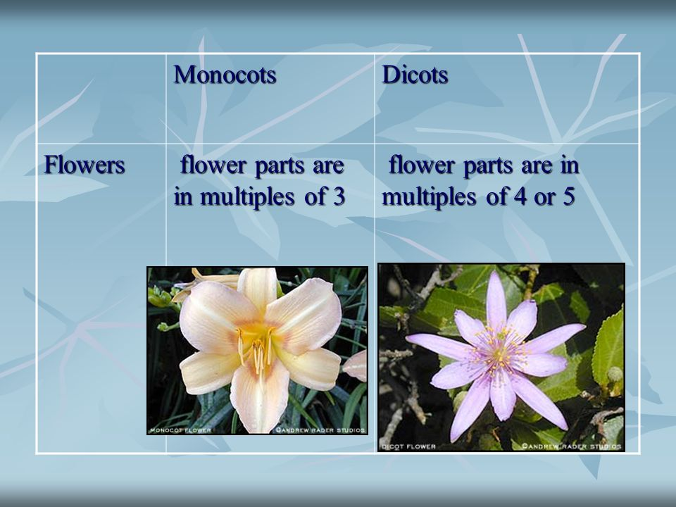 Monocots Dicots Flowers flower parts are in multiples of 3 flower parts are in multiples of 4 or 5