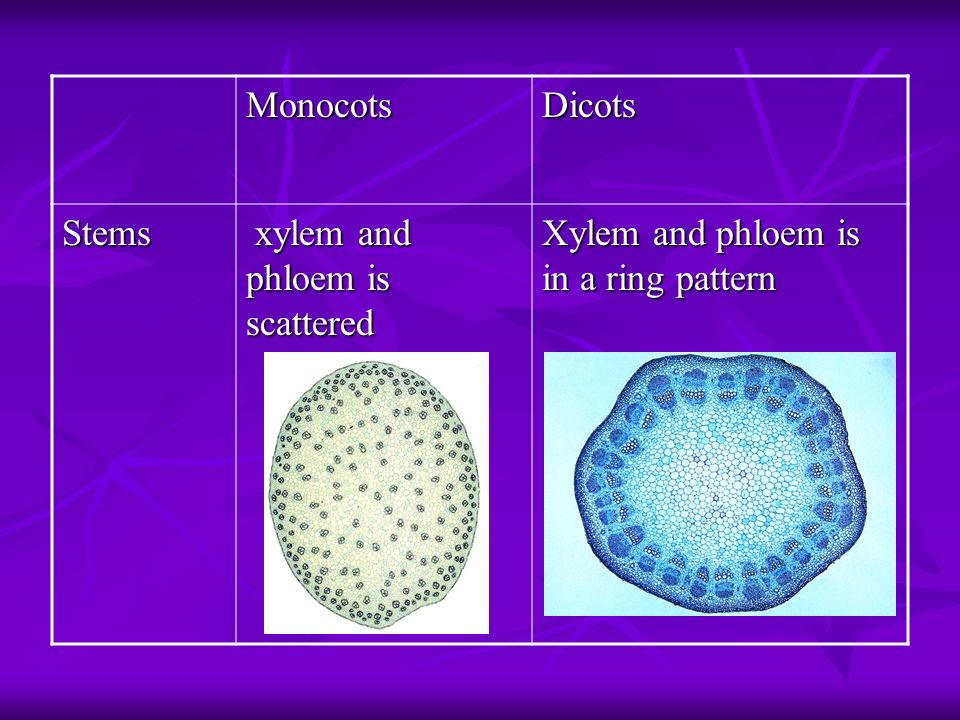 Monocots Dicots Stems xylem and phloem is scattered Xylem and phloem is in a ring pattern
