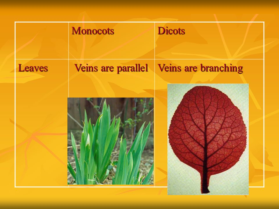 Monocots Dicots Leaves Veins are parallel Veins are branching