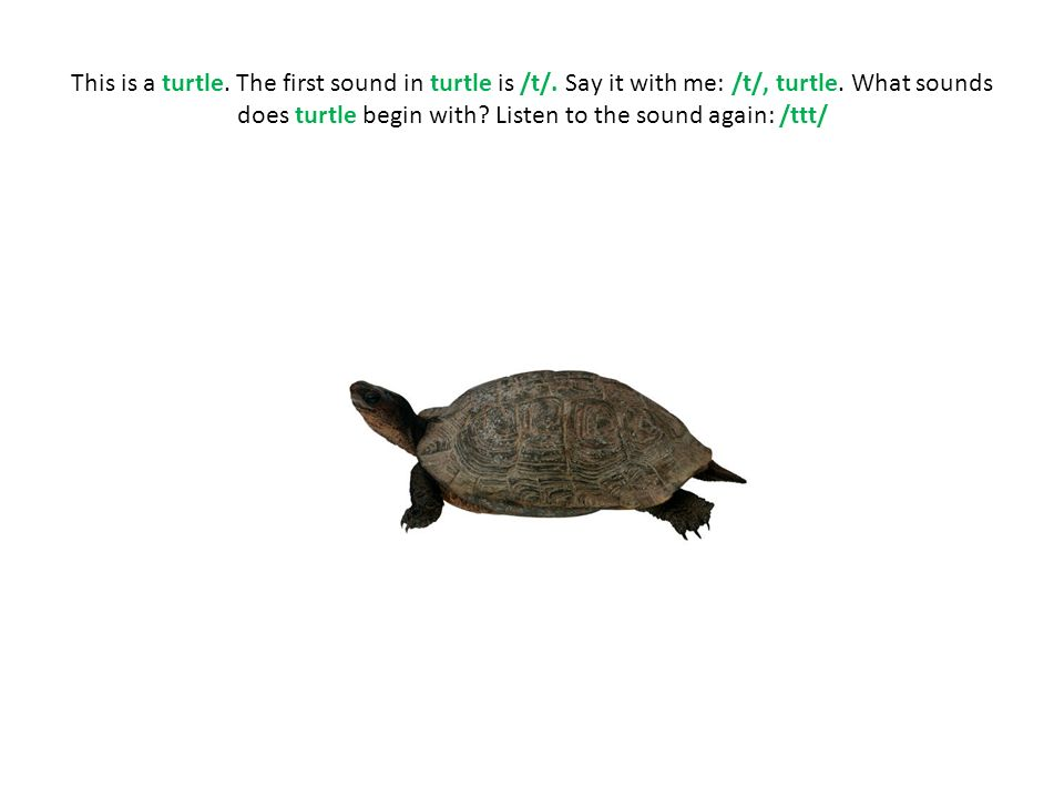 This is a turtle. The first sound in turtle is /t/
