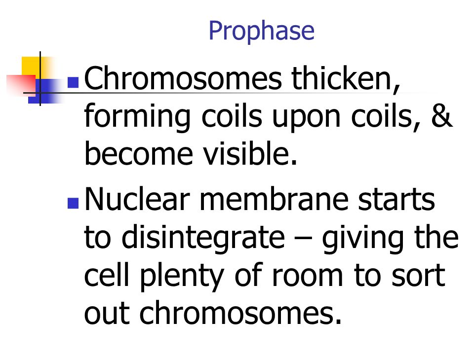 Chromosomes thicken, forming coils upon coils, & become visible.