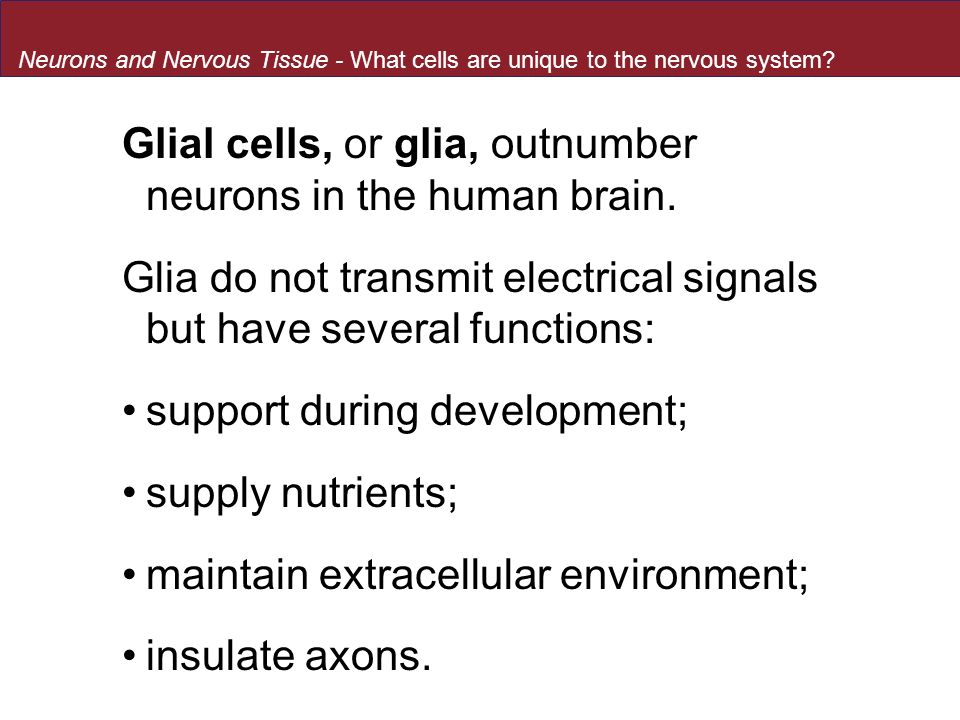 Glial cells, or glia, outnumber neurons in the human brain.