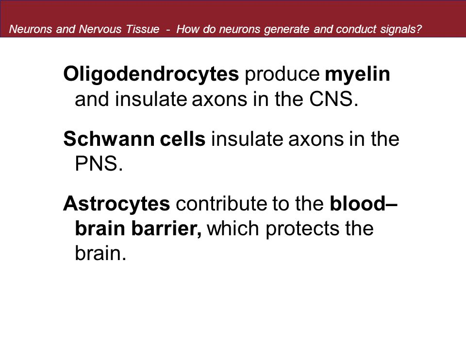 Oligodendrocytes produce myelin and insulate axons in the CNS.
