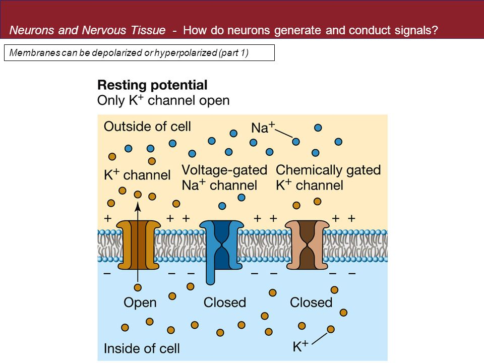 Neurons and Nervous Tissue - How do neurons generate and conduct signals
