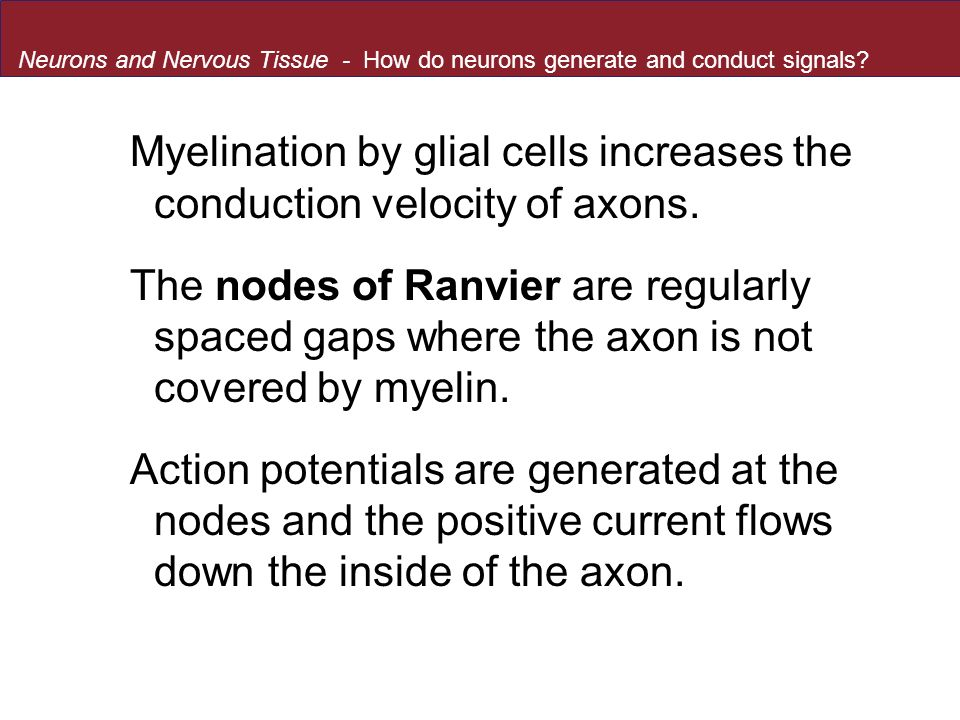 Myelination by glial cells increases the conduction velocity of axons.