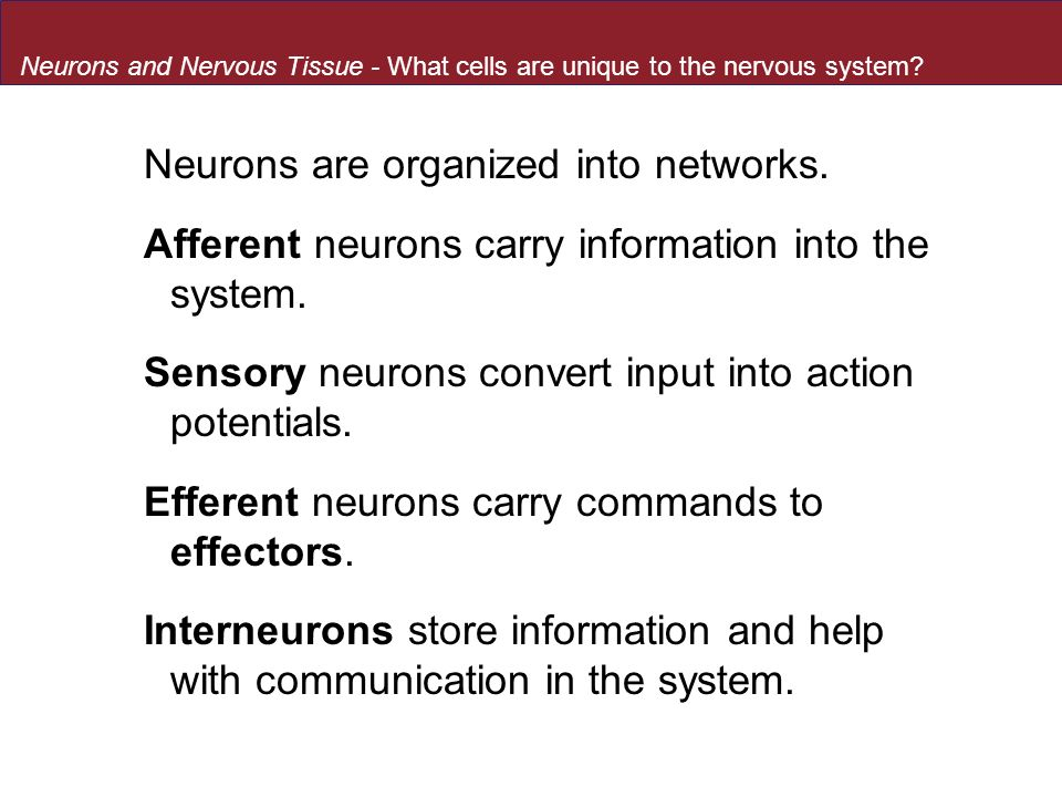 Neurons are organized into networks.