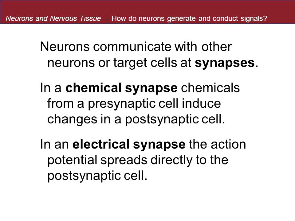 Neurons communicate with other neurons or target cells at synapses.