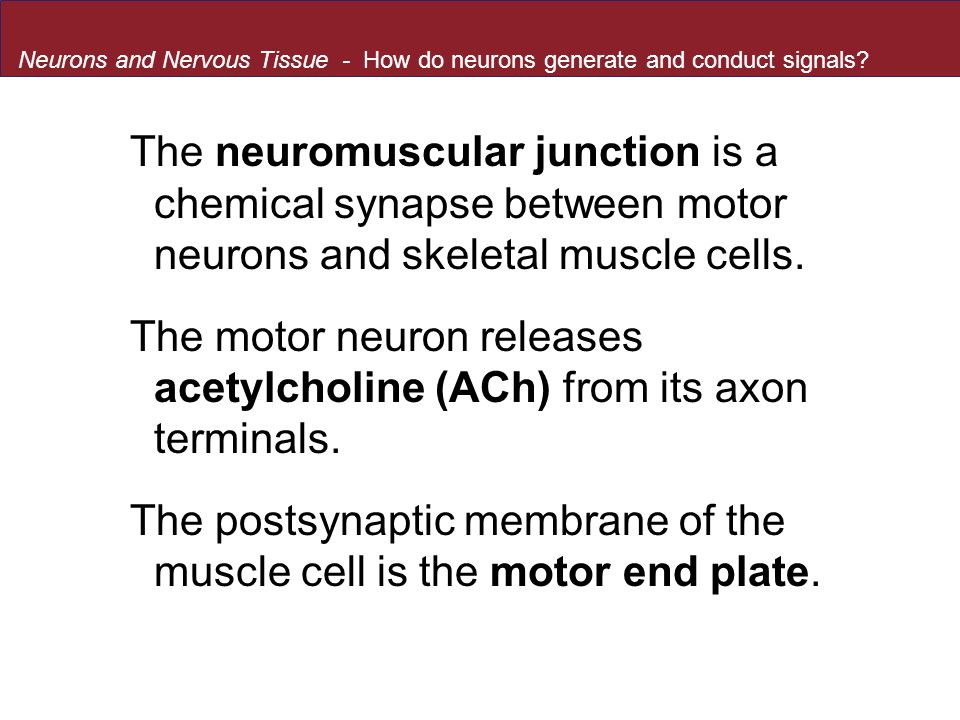 The motor neuron releases acetylcholine (ACh) from its axon terminals.