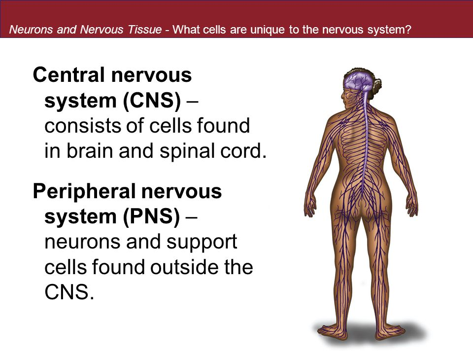 Neurons and Nervous Tissue - What cells are unique to the nervous system