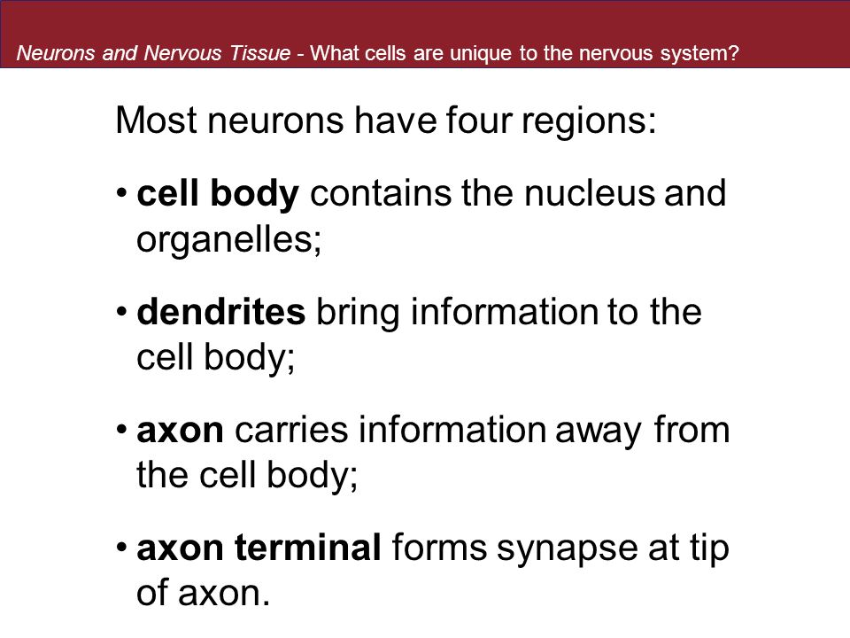 Most neurons have four regions: