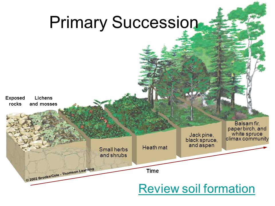 Primary Succession Review soil formation Balsam fir, paper birch, and