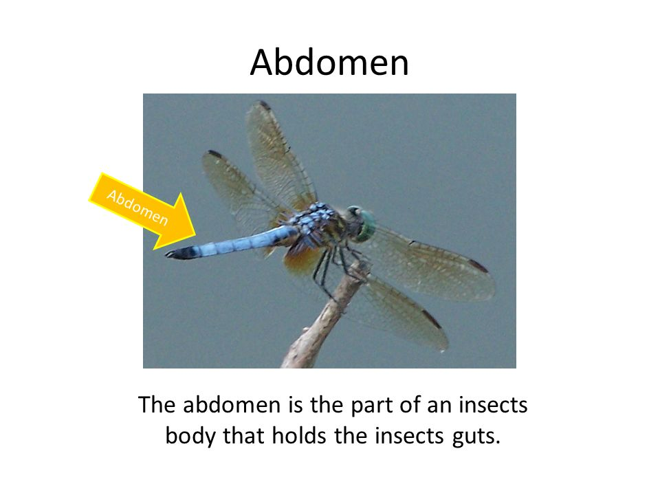 Abdomen The abdomen is the part of an insects