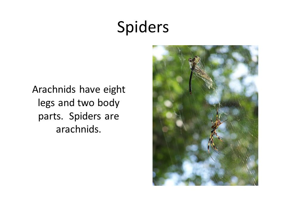 Arachnids have eight legs and two body parts. Spiders are arachnids.
