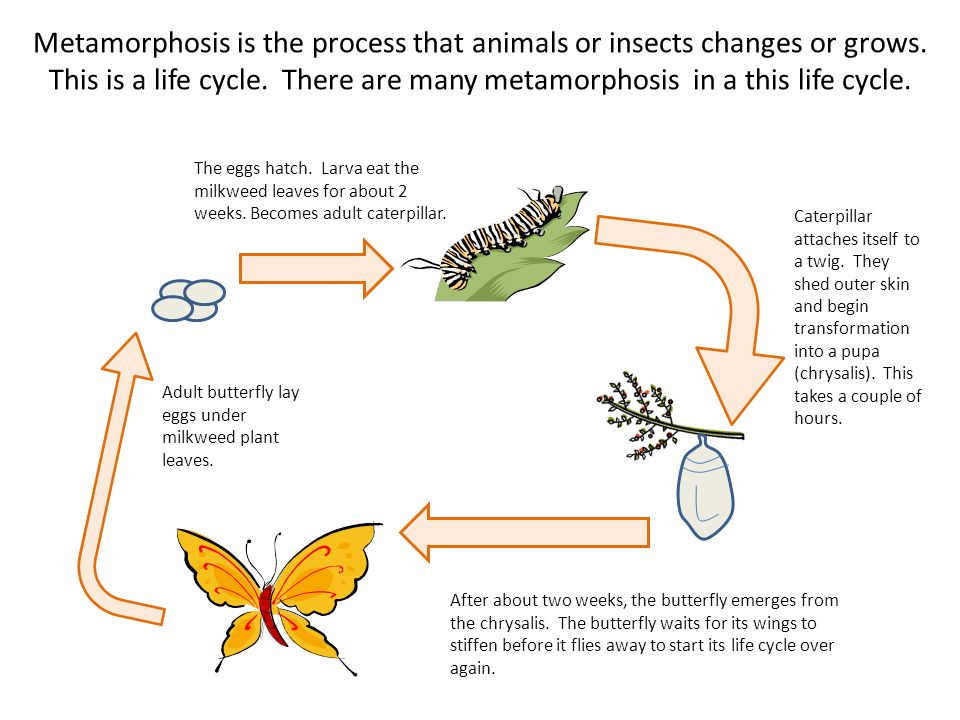 Metamorphosis is the process that animals or insects changes or grows