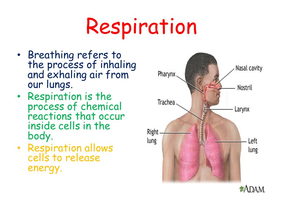 Respiration Breathing refers to the process of inhaling and exhaling air from our lungs.